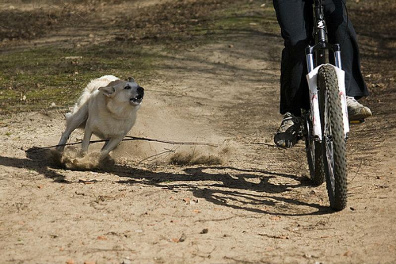 собака нападает на велосипедиста